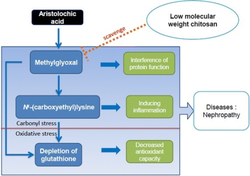 The protective mechanism of lmw-chitosan. Lmw-chitosan can block MG and CEL accumulation and might improve the damage resulting from protein dysfunction and inflammation. Interactions with carbonyl and oxidative stressors could promote an increase in overall stress. However, the role of lmw-chitosan on carbonyl stress is more vital than that on oxidative stress.