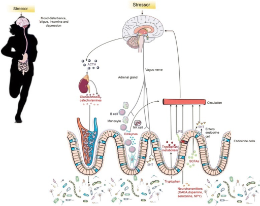 Gut microbiota effects on mood disturbance, fatigue, insomnia and risk of depression during exercise. The putative mechanisms by which bacteria connects with the brain and influence behavior during exercise include bacterial subproducts that gain access to the brain via the bloodstream and the area postrema, via cytokine release from mucosal immune cells, via the release of gut hormones such as 5-hydroxytryptamine (5-HT) from enteroendocrine cells, or via afferent neural pathways, including the vagus nerve. Stress during intense period of training and competitions can influence the microbial composition of the gut through the release of stress hormones or sympathetic neurotransmitters that influence gut physiology and alter the habitat of the microbiota (reviewed by Mach [23]). Alternatively, host stress hormones such as noradrenaline might influence bacterial gene expression or signaling between bacteria, and this might change the microbial composition and activity of the microbiota.