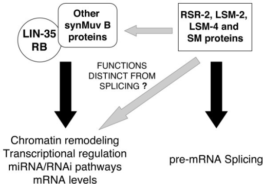 Novel roles of specific spliceosome components in the synMuv B pathway. RSR-2, LSM-2, LSM-4 and SM proteins may have functions that reduce gene expression and are independent of pre-mRNA splicing. The phenotypic overlap with lin-35 Rb mutants may indicate functions in transcription repression, chromatin modification, miRNA/RNAi pathway modulation or mRNA metabolism.