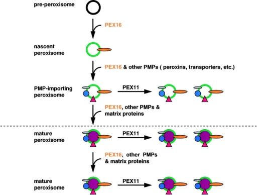 A model of peroxisome biogenesis in the absence  (top) and presence (bottom) of  preexisting peroxisomes. During  rescue of PBD061 cells, PEX16  creates nascent peroxisomes, possibly from a preperoxisomal vesicle. These nascent PEX16-containing peroxisomes then import  additional PMPs. The import of  PEX11 proteins allows these  structures to proliferate by fission or by budding, and the import of other peroxins leads to  formation of a functional matrix  protein import apparatus. Under normal conditions, peroxisomes would form primarily  from preexisting peroxisomes in  a PEX11-mediated process. Although the targeting of PEX16 to  preperoxisomal structures may  be enhanced in the absence of  peroxisomal membranes, such a  process may also occur under  normal conditions.