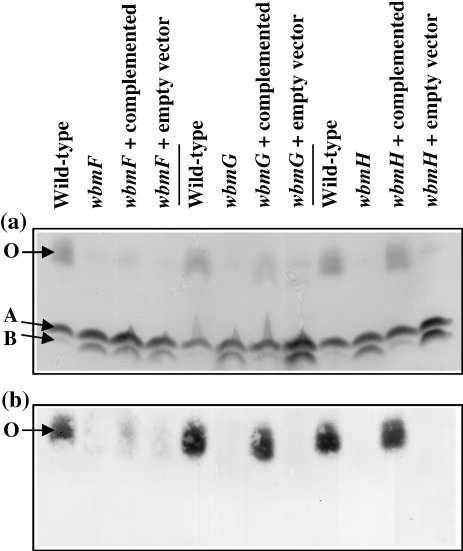 (a) Silver stain analysis and (b) Western immunoblot of duplicate SDS-PAGE gels showing the LPS profiles of wild-type B. bronchiseptica (CN7635E) and CN7635E-derived mutants in wbmF (CNF0a), wbmG (CNG1a) and wbmH (CNH1d) and mutants carrying the complementation vectors for wbmF (pCompF), wbmG (pCompG) and wbmH (pCompH) or the empty vector (pCompEmpty). The positions of the B. bronchiseptica A-band (A) and B-band (B) species are indicated as well as the position of LPS that contains O antigen (O). The primary monoclonal antibody used in (b) that recognises O-band LPS was D13B11.35