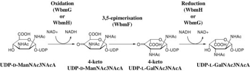 Proposed pathway for the synthesis of UDP-l-GalNAc3NAcA catalysed by WbmF, WbmG and WbmH.