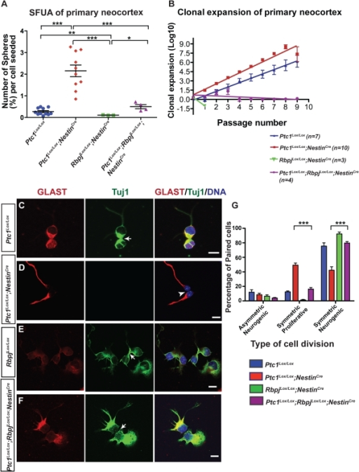 Hh pathway activation expands the population of cells with stem cell-like properties and promotes symmetric proliferative divisions of radial glial cells.(A) E14.5 Ptc1Lox/Lox;NestinCre neocortex (n = 10) showed an 8-fold increase (***p<0.0001) in the number of primary neurosphere colonies per cell seeded compared to littermate controls (n = 11). For RbpjLox/Lox;NestinCre and Ptc1Lox/Lox;RbpjLox/Lox;NestinCre samples, n = 3 and n = 4 respectively. * and ** p<0.005 by unpaired Student's t-test (with Welch's correction). (B) Clonal expansion of neurospheres derived from E14.5 neocortex. Cell numbers obtained at each passage were transformed into LOG and linear regression analysis was performed on resulting curves. The rate of clonal expansion of the neurospheres is represented as the slope of the line. The number of stem cells was significantly increased in Ptc1Lox/Lox;NestinCre neurospheres compared to Ptc1Lox/Lox neurospheres (slope: 0.8877±0.06774 vs 0.7060±0.03302, p<0.05). However, RbpjLox/Lox;NestinCre and Ptc1Lox/Lox;RbpjLox/Lox;NestinCre neurospheres showed a significant reduction in stem cells compared to the wild type control (slope: −1.337±3.400e+038, p<0.0001 and slope: −0.08099±0.04816, p value compared to control <0.0001, respectively). Error bars indicate standard deviation (A, B). (C–F): Co-immunofluorescence of GLAST (red) and TuJ1 (green) on neocortical progenitors isolated from E14.5 Rbpj and Ptc1 mutant and wild types neocortices. Cells were counterstained with DAPI (blue). Arrows (in C, E, F) indicate TuJ1+ cells and arrowheads (D) indicate GLAST+ radial glial cells. RG cells from Ptc1Lox/Lox;NestinCre neocortex rarely differentiate into TuJ1+ neurons after 24 hours (D, G), whereas concomitant loss of the Rbpj and Ptc1 alleles results in an increased rate of neurogenesis in Ptc1Lox/Lox;RbpjLox/Lox;NestinCre neocortical cells (F, G). On the other hand, cells from RbpjLox/Lox;NestinCre neocortex mostly differentiate into TuJ1+ neurons after 24 hours. Also, (G): Quantitative analysis for GLAST and TuJ1 revealed that the percentage of RG cells undergoing symmetric neurogenic divisions was significantly increased (p<0.05) in the Ptc1Lox/Lox;RbpjLox/Lox;NestinCre compared to the Ptc1Lox/Lox;NestinCre neocortices. On the other hand, there was a reduction in the number of symmetric proliferative cell divisions in Ptc1Lox/Lox;RbpjLox/Lox;NestinCre compared to Ptc1Lox/Lox;NestinCre (p<0.05) samples. Bars represent standard errors. ***p<0.0001. Scale bar (C–F), 10 µm.