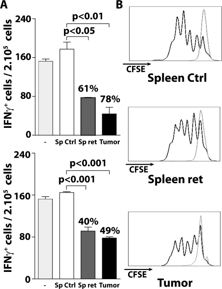CD11b+ cells from MT/ret mice suppress T cell functions.(A) GP33-specific T cells from GP33-immunized mice were stimulated 24 h with GP33 in presence of CD11b+ cells isolated either from tumors or spleens of MT/ret mice or ctrl spleens. The frequency of IFNγ secreting T cells was determined by an ELISPOT assay. The percentage of inhibition indicated on the graph corresponds to the ratio between the number of spots in presence and in absence of CD11b+ (upper histogram). GP33-specific T cells were also stimulated with GP33 together with supernatants of CD11b+ cells isolated from tumors or spleens of MT/ret or non transgenic mice and tested as above (lower histogram). (B) Purified OT-1 CD8+ T cells labeled with CFSE were cultured in presence of CD11b+ cells isolated from spleens or tumor nodules from MT/ret mice or from ctrl spleen, and stimulated in presence or not of Ova257. Three days later, proliferation was determined. CFSE fluorescences are shown after culture with (bold lines) or without Ova257 (thin lines).