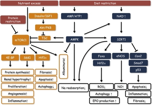 anabolic pathway that synthesizes fatty acids