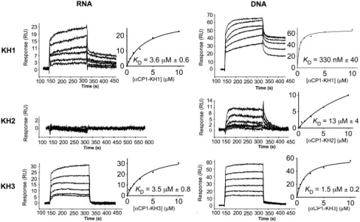 Binding analysis of separate KH domains of αCP1 to target RNA and DNA using SPR. Sensorgrams of αCP1 KH1, KH2 and KH3 binding to biotinylated mRNA (5′-CUCUCCUUUCUUUUUCUUCUUCCCUCCCUA-3′) representing nucleotides 3296–3325 of androgen receptor mRNA (flow cell 2) and biotinylated DNA (5′-CTCTCCTTTCTTTTTCTTCTTCCCTCCCTA-3′) analogous to the above RNA sequence (flow cell 3) captured on SA-coated sensor chips at a range of protein concentrations are shown. Binding curves, derived from the approximated steady state binding of the proteins, were used to determine equilibrum dissociation constants (KDs). Errors are standard errors arising from fits.