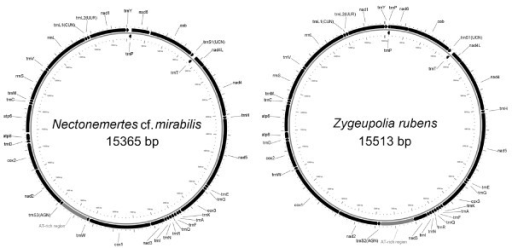 Circular representation of the mtDNA of Nectonemertes cf. mirabilis and Zygeupolia rubens. Genes on the outer (H) strand are transcribed clockwise; those on the inner (L) strand are transcribed counter-clockwise. Transfer RNA genes are designated by the one-letter amino acid code for the corresponding amino acids; trnL1, trnL2, trnS1, and trnS2 differentiated on the basis of their codons CUN, UUR, UCN, and AGN, respectively. AT-rich non-coding region is represented in grey. The other small non-coding regions are not marked.
