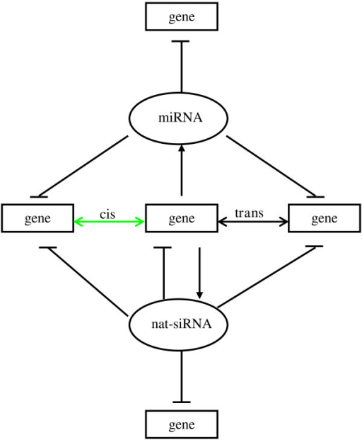 The complex regulatory networks of NATs. In the NAT regulatory networks genes may form cis- and trans-NATs. Some NATs may fold into the hairpin structure characteristic of pre-miRNAs, and generate miRNAs; some NATs may give rise to nat-siRNAs. The nat-siRNAs can self-regulate the expression of NAT sense or antisense transcripts, and they can target other genes. Additionally, many miRNA targets may be involved in the formation of NATs.