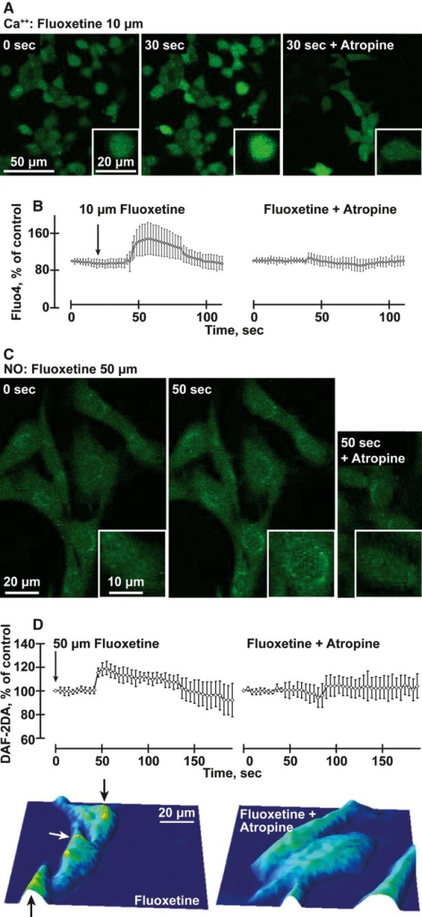 Fluoxetine induces atropine-suppressible intracellular Ca2+ and NO release in mouse b.End.3 cells (A) Ca++: b.End.3 cells stained with Fluo-4 and treated with 10 μM fluoxetine (FL) for 30 sec. with or without atropine. (B) Quantification of average changes in Ca++ signals in 40 cells under the conditions noted above. (anovaP < 0.001). (C) NO: b.End.3 cells stained with DAF-2DA and treated with 50 μM fluoxetine with or without atropine. (D) Quantification of changes in NO signals in 30 cells under the conditions noted above. (anovaP < 0.001). Below: Typographical map of the NO signal represents the field of the image above, following fluoxetine treatment of b.End.3 cells with or without atropine. Note high levels near the nucleus (yellow, marked by arrows).