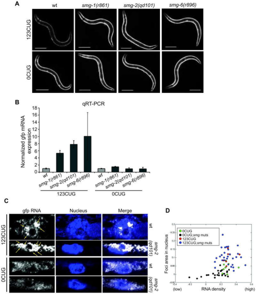 The NMD pathway modulates expanded CUG transcripts degradation and nuclear foci accumulation. (A) Fluorescent microscopy images of 2d old adult animals expressing either 123CUG repeats or 0CUG in the backgrounds: wild type (wt), smg-2(qd101), smg-1(r861) and smg-6(r896). Scale bars correspond to 200μm. (B) qRT-PCR assay for gfp levels in animals expressing either 123CUG repeats or the control GFP in different backgrounds: wild type (wt), smg-2(qd101), smg-1(r861) and smg-6(r896). Wild type=1.0. Error bars represent SEM for three biological replicates. (C) Confocal SM-FISH images of GFP RNA transcripts (white), DAPI stained nucleus (blue) and merge of C. elegans muscle cells. The strains imaged are 123CUG and 0CUG animals, in wild type (wt) and smg-2(qd101). Yellow arrows indicate expanded CUG nuclear foci. (D) Computational analysis of SM-FISH images of 0CUG (green dots), 0CUG in smg mutant backgrounds (blue dots), 123CUG (red dots) and 123CUG in smg mutant backgrounds (black dots).