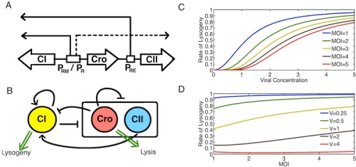 Decision Making in lambda phage.A: The role of the  and  promoters involved in lambda phage decision. Dashed lines denote transcriptional events that require no activation while solid lines denote transcriptional events that require activation. B: Schematic of the core genetic network involved in lysis-lysogeny decision. CI gene promotes itself and represses the other genes. Cro represses everything, while CII promotes CI. C: Rate of lysogeny as observed from experimental observations in Zeng et al. [24] as a function of viral concentration for different MOI. D: Rate of lysogeny as a function of MOI for different volumes. Bacterial volumes and viral concentrations are expressed in arbitrary units using the normalized cell lengths following Zeng et al. [24].