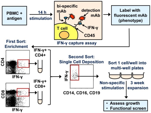 Overview of T cell clone generation.The procedure for cell stimulation, enrichment, single cell sorting, clone maintenance and characterisation is outlined. After PBMC were stimulated with antigen for 14 h, the IFN-γ capture assay was used to label functional cells. Cell phenotype and viability were revealed by the addition of fluorescent mAb against surface markers and propidium iodide. A MoFlo cell sorter enriched for viable, CD14– CD16– CD19– cells that were either CD4+ IFN-γ+ or CD8+ IFN-γ+. A FACS Vantage cell sorter then confirmed the phenotype of purified cell populations, and deposited functional cells into 96 well plates at one cell per well. Plates contained medium with feeder cells and phytohaemagglutinin-L, to non-specifically stimulate T cell clones. The growth and function of clones were assessed following expansion for three weeks, with weekly medium changes.
