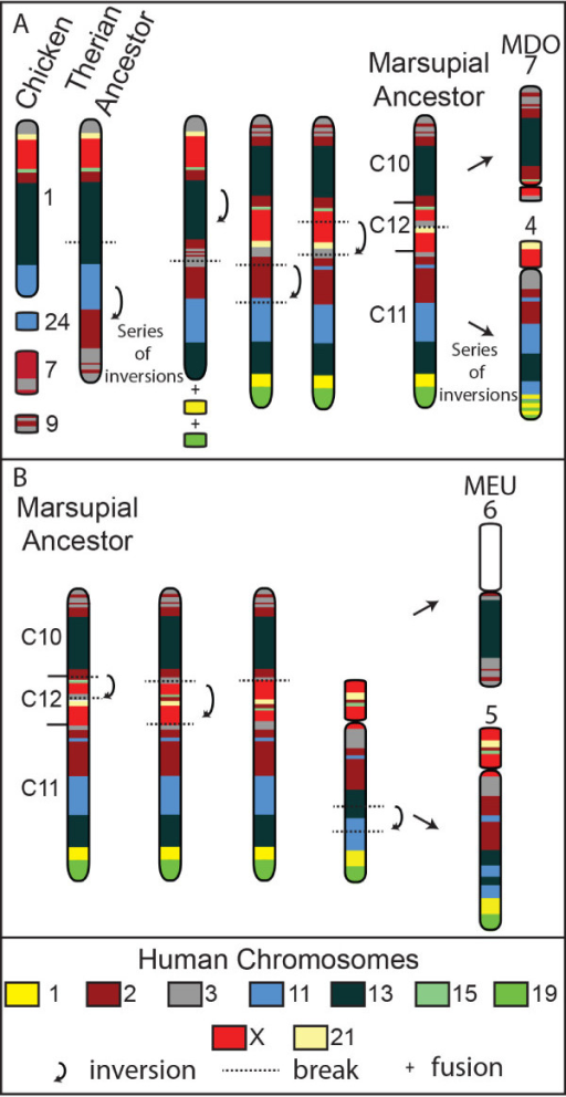 The predicted ancestral therian chromosome containing segments C10, C11 and C12 and the derivation of opossum and wallaby chromosomes. (A) The predicted therian ancestral chromosome aligned against chicken chromosomes containing C10, C11 and C12 genes. An inversion and the addition of genes corresponding to part of human chromosomes 1 and 19 to the distal end of this chromosome and two more inversion events result in a putative marsupial ancestral chromosome consisting of all three segments in the order of C10, C12 and C11. Opossum (MDO) chromosomes 4 and 7 are derived from a fission event taking place in segment C12. (B) Wallaby (MEU) chromosomes 5 and 6 are derived from the predicted marsupial ancestor via inversions, a fission between C10 and C12 and a further inversion within C11.