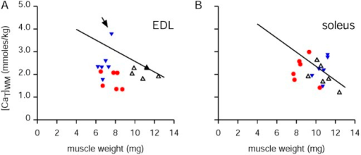 Effect of knocking out CSQ on [CaT]WM. The solid lines in A and B for EDL and soleus muscles, respectively, are the same best-fit lines obtained for all of the control results shown in Fig. 6 (B and D, respectively). The red circles were obtained with muscles from mice with the skeletal muscle isoform of CSQ (CSQ1) knocked out, and the blue triangles were with both the skeletal and cardiac isoforms (CSQ1 and CSQ2) knocked out. The open triangles were from the control muscles processed at the same time; these were also plotted in Fig. 6. For EDL muscles (n = 6 for each case), the average (SEM) values of [CaT]WM in millimolars were 2.12 (0.09), 1.73 (0.16), and 2.54 (0.29) for, respectively, the controls, the CSQ1 KOs, and the double KOs. For soleus muscles (n = 6 for each case), the corresponding average (SEM) values were 1.95 (0.22), 2.24 (0.25), and 2.31 (0.22).