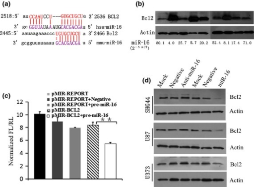 miR-16 downregulated BCL2 expression. (a) Analyzing the homology between microRNA-16 (miR-16) and BCL2 mRNA sequences. (b) MicroRNA-16 levels are inversely correlated with BCL2 expression in the same human brain glioma samples. (c) Luciferase assay revealed reduced relative luciferase activities in 293T cells stably overexpressing miR-16 following transfection of BCL2 3′-UTR using pMIR and pMIR-REPORT vectors (P < 0.01). FL, firefly luminescence; RL, Renilla luminescence. (d) Western blot analysis showed that miR-16 led to obvious downregulation of BCL2 expression.