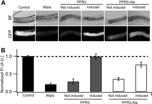 Suppression of RNAi in C. elegans by PPR3 and PPR3-Ala.The gfp-transgenic strain RT476 was transformed to express PPR3 or PPR3-Ala under a heat shock—inducible promoter. Sense-mediated silencing of gfp expression was induced in the nematodes by feeding them E. coli expressing gfp mRNA (RNAi). In Control, gfp-transgenic nematodes were fed bacteria harboring an insert-less plasmid. After 24 h, expression of PPR3 and PPR3-Ala was induced by heat shock in the gfp-silenced nematodes, which recovered GFP fluorescence by 72 h post-induction. (A) gfp-transgenic C. elegans (strain RT476) in bright field (BF) to observe morphology or under UV illumination to observe GFP fluorescence. The anterior intestine and posterior intestine are oriented to the left and right, respectively (see also Fig. 3B). (B) Normalized average GFP fluorescence intensity (FI) shown using arbitrary units (A.U.) in four independent experiments. Two transgenic lines expressing each protein were included in the experiments. Error bars indicate S.E. (n = 38–50). GFP fluorescence intensity is significantly higher in the nematodes induced to express PPR3 than PPR3-Ala, but in both it is higher than in uninduced controls (Student's t-test, p < 0.001). Dashed line indicates the level of GFP fluorescence in control.