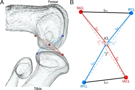 Imaging of measurement points.A: A 3D reconstruction of the knee joint was generated from 2D continuous sections with Amira software. Femur and tibia (white), ACL (red) and PCL (blue). Red points indicate the attachment of the ACL to the femur and tibia. Blue points indicate the attachment of the PCL to the femur and tibia. The black point indicates the cross point of both ligaments. B: Measurement points. fACL: femoral attachment of ACL. fPCL: femoral attachment of PCL. tACL: tibial attachment of ACL. tPCL: tibial attachment of PCL. The cross point of ACL and PCL was indicated as intersection of cruciate ligament (iCL). Length of ACL (LACL) was calculated by length of ACL on femoral side (LAf) plus length of ACL on tibial side (LAt). Length of PCL (LPCL) was calculated by length of PCL on femoral side (LPf) plus length of PCL on tibial side (LPt).