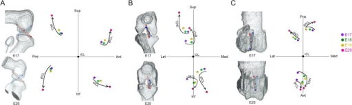 Spatial changes of the attachment points of the cruciate ligaments in each dimension.The average coordinates of the attachment points at each stage (purple; E17, green; E18, yellow; E19, red; E20) in the sagittal (A), frontal (B), and horizontal (C) planes. Femoral attachment of ACL (fACL). Femoral attachment of PCL (fPCL). Tibial attachment of ACL (tACL). Tibial attachment of PCL (tPCL). Superior (Sup), interior (Inf), anterior (Ant), posterior (Pos), medial (Med), lateral (Lat).