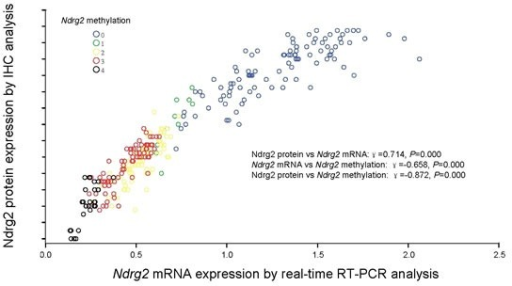 Correlation of Ndrg2 methylation with Ndrg2 expressionCorrelation of Ndrg2 methylation with Ndrg2 mRNA level determined by real-time RT-PCR analysis and Ndrg2 protein expression determined by immunohistochemical analysis in 292 gastric cancer tissues. Ndrg2 methylation scores inversely correlated with Ndrg2 gene expression in both mRNA and protein levels.