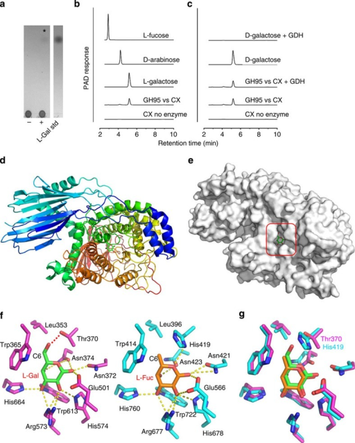 Activity and structure of BACOVA_03438 GH95 α-L-galactosidase and comparison to the Bifidobacterium bifidum GH95 α-L-fucosidase.(a,b) TLC and HPAEC profiles, respectively, of the reaction product (L-galactose) generated by incubating CX at 1 mg ml−1 with 1 μM BACOVA_03438 for 16 h in 20 mM sodium phosphate buffer, pH 7.0, at 37 °C. In (a) the lanes are as follows: (−) CX no enzyme; (+) CX incubated with BACOVA_03438. The asterisk marks the position of the single reaction product released from CX by the GH95. (c) The product of the GH95 is resistant to oxidation by D-galactose dehydrogenase (GDH). (d) Schematic of BACOVA_03438, colour-ramped from blue (N-terminus) to red (C-terminus), with L-Gal bound in the active site (carbohydrate carbons shown as green sticks). (e) Solvent exposed surface representation of B. ovatus GH95. The active site pocket that houses β-L-Gal product is boxed. (f) Side chains of the active site residues of BACOVA_03438 (magenta carbons) and the GH95 α-L-fucosidase (blue carbons; PDB: 2EAE) from Bifidobacterium bifidum, bound to L-Gal (green carbons) and L-Fuc (orange carbons), respectively. Predicted hydrogen bonds between the amino-acid side chains and carbohydrates are shown as yellow dotted lines, except for the H-bond between the Oγ of BACOVA_03438 Thr370 and O6 of L-Gal, which is shown as a red dotted line. (g) Overlay of the active site residues displayed in panel (f) with the side-chains of the Thr/His polymorphism that may play a role in specificity for L-Gal over L-Fuc labelled. A stereo image of a portion of the electron density map is shown in Supplementary Fig. 9.