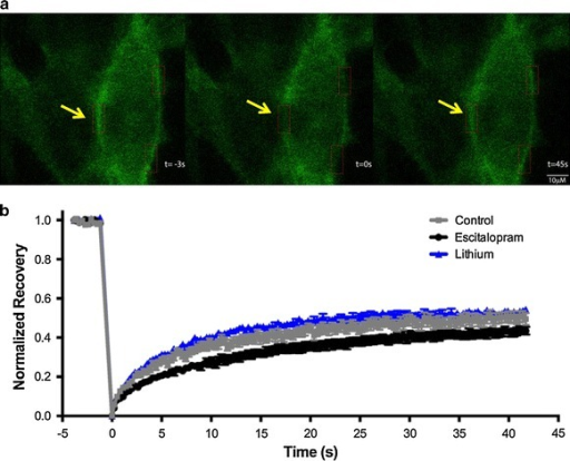 "FRAP suggests increased release of GFP-Gsα from lipid rafts after chronic antidepressant but not lithium treatment. a Typical course of photobleaching with representative images of cell before photobleaching (t = −3 s), immediately after photobleaching (t = 0 s), and after maximal recovery of fluorescence (t = 45 s). b Demonstration of typical fluorescence recovery after photobleaching in cells treated with escitalopram 10 µM or LiCl 3 mM for 72 h as described in ""Methods"". Yellow arrows indicate area of bleach and recovery."