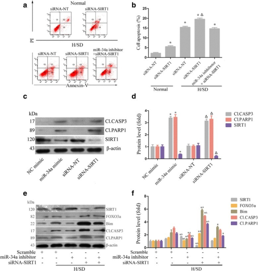 miR-34a induces apoptosis by modifying SIRT1 and FOXO3a expression. a, b Apoptosis was analyzed by measuring Annexin V+/PI– cells using flow cytometry in cultures of siRNA-SIRT1, siRNA-NT, or siRNA-SIRT1 cotransfected with miR-34a inhibitor-treated MSCs, under normal and H/SD conditions (MSCs were transfected for 72 hours and exposure to H/SD and maintained as such for 6 hours). *P <0.05 vs. normal siRNA-NT, △P < 0.05 vs. H/SD siRNA-NT. c, d MSCs were transfected with miR-34a mimic, NC mimic, siRNA-SIRT1, or siRNA-NT for 72 hours, respectively, and then CASP3 and PARP1 activity was measured using western blot. *P <0.05 vs. NC mimic, △P <0.05 vs. siRNA-NT. e, f Western blot analysis of SIRT1, FOXO3a, Bim, CASP3, and PARP1 protein expression in cultures of siRNA-NT, siRNA-SIRT1, miR-34a inhibitor, or siRNA-SIRT1 cotransfected with miR-34a inhibitor-treated MSCs, under normal and H/SD conditions (MSCs were transfected for 72 hours and exposure to H/SD and maintained as such for 6 hours). β-actin was used as the internal control. Each column represents mean ± SD from three independent experiments. *P <0.05 vs. normal scramble, △P <0.05 vs. H/SD scramble. CASP3 caspase 3, FOXO3a forkhead box O transcription factor 3a, H/SD hypoxia and serum deprivation, miRNA microRNA, NC negative control, PARP1 polyADP-ribose polymerase 1, PI propidium iodide, SIRT1 silent information regulator 1, siRNA small interfering RNA, siRNA-NT scrambled siRNA
