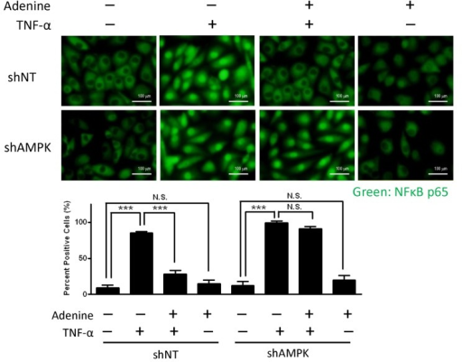 "Effects of adenine on NF-κB translocation in response to TNF-α.shNT HUVECs or shAMPK HUVECs were treated with 10 μg/L of TNF-α in the presence or absence of 600 μM adenine for 6 h. Top: representative images depicting the location of NF-κB subunit p65 as described in ""Material and methods"", Scale bar: 100 μM. Bottom: quantification of NF-κB subunit p65 translocation into nuclei of HUVECs. Statistical significance was determined by one-way ANOVA followed by Tukey post hoc tests; all data are plotted as mean ± S.E.M. (n = 5). ***, P<0.001; N.S., no significance."