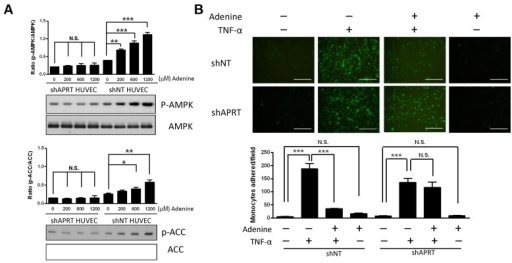 "Effect of adenine induced AMPK activation and monocyte adhesion by APRT in HUVECs.(A) shNT HUVECs or shAPRT HUVECs were treated with various concentration of adenine for 6 h. Cell lysates collected from each condition were used to determine the phosphorylation of AMPK and ACC by western blot using antibodies specific for the phosphorylated protein. (B) shNT HUVECs or shAPRT HUVECs were exposed to 10 μg/L of TNF-α for 6 h in the presence or absence of 600 μM adenine. Top: representative images depicting monocytes to the HUVEC cells as described in ""Material and methods"", Scale bar: 200 μM. Bottom: quantification of monocyte adhesion to HUVEC cells. Statistical significance was determined by one-way ANOVA followed by Tukey post hoc tests; all data are plotted as mean ± S.E.M. (n = 5). ***, P<0.001; N.S., no significance."