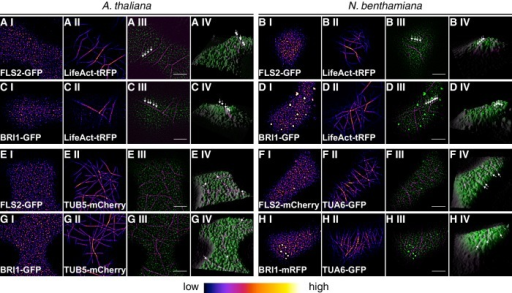 Plasma membrane localisation of FLS2 and BRI1 with respect to the cytoskeleton.(A I–A IV) Confocal micrographs of actin filaments visualised using LifeAct-tRFP (A I) and FLS2-GFP (A II) in epidermal leaf cells of Arabidopsis seedling cotyledons as well as the merged image (A III) and a 3D surface plot of the raw data (A IV). (B I–B IV) Confocal micrographs of actin filaments visualised using LifeAct-tRFP (B I) and FLS2-GFP (B II) after transient co-expression in epidermal leaf cells of N. benthamiana as well as the merged image (B III) and a 3D surface plot of the raw data (B IV). (C I–C IV) Confocal micrographs of actin filaments visualised using LifeAct-tRFP (C I) and BRI1-GFP (C II) in epidermal leaf cells of Arabidopsis seedling cotyledons as well as the merged image (C III) and a 3D surface plot of the raw data (C IV). (D I–D IV) Confocal micrographs of actin filaments visualised using LifeAct-tRFP (D I) and BRI1-GFP (D II) after transient co-expression in epidermal leaf cells of N. benthamiana as well as the merged image (D III) and a 3D surface plot of the raw data (D IV). (E I–E IV) Confocal micrographs of TUB5-mCherry (E I) and FLS2-GFP (E II) in epidermal leaf cells of Arabidopsis seedling cotyledons as well as the merged image (E III) and a 3D surface plot of the raw data (E IV). (F I–F IV) Confocal micrographs of TUA6-GFP (F I) and FLS2-mCherry (F II) after transient co-expression in epidermal leaf cells of N. benthamiana as well as the merged image (F III) and a 3D surface plot of the raw data (F IV). (G I–G IV) Confocal micrographs of TUB5-mCherry (G I) and BRI1-GFP (G II) in epidermal leaf cells of Arabidopsis seedling cotyledons as well as the merged image (G III) and a 3D surface plot of the raw data (G IV). (H I–H IV) Confocal micrographs of TUA6-GFP (H I) and BRI1-mRFP (H II) after transient co-expression in epidermal leaf cells of N. benthamiana as well as the merged image (H III) and a 3D surface plot of the raw data (H IV). Fluorescence signals of cytoskeleton components are shown in magenta, fluorescence signals of FLS2 or BRI1 receptors are shown in green. The abbreviation tRFP stands for TagRFP. Scale bars represent 5 µm. The image series indicate that FLS2 and BRI1 receptor clusters repeatedly localised on top of actin filaments as indicated by white arrows in the respective 3D surface plots. In contrast, FLS2 and, to a minor extend, BRI1 receptors were largely excluded from plasma membrane areas that co-localised with cortical microtubules as indicated by white arrows in the respective 3D surface plots.DOI:http://dx.doi.org/10.7554/eLife.25114.005