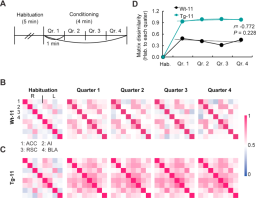 Changes in the network correlation of Tg-11 mice remained longer during the conditioning session in OFC.(A) Schematic drawing of the divided sessions for analysis. Qr: Quarter. (B,C) Cross-correlation matrix during the habituation and 4 quarters of Wt-11 and Tg-11 mice (Wt-11: n = 7; Tg-11: n = 10). (D) Matrix dissimilarity was calculated based on the Euclidean distance (see Methods) from the habituation matrix to each quarter matrix. The dotted lines represent the trend lines of the dynamics of each matrix. There was no significant relationship between the two groups (r = −0.772 P = 0.228, Pearson's correlation).