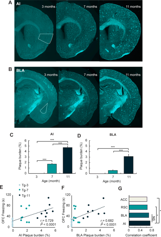 Plaque burden in the AI of Tg mice is highly correlated with the level of fear response in OFC.(A,B) Examples of amyloid plaque deposition in the AI (A) and BLA (B) of Tg-3, Tg-7, and Tg-11 mice. All brain slice samples were stained with thioflavin-S. Turquoise was used as a pseudo-colour for amyloid plaque. (C,D) Average plaque burden of the AI (C) and BLA (D) were quantified in Tg-3, Tg-7, and Tg-11 mice. (C) In the AI, all three age groups showed significant differences between each pair of groups (P < 0.0001 (age), one-way ANOVA, ***P < 0.001, Bonferroni's post hoc test). (D) Plaque burden in the BLA of Tg-11 mice showed significantly higher than that of Tg-3 or Tg-7 mice (P < 0.0001 (age), one-way ANOVA, ***P < 0.001, Bonferroni's post hoc test). (E,F) Plaque burden in the AI (E; rs = 0.729, P < 0.0001) and BLA (F; rs = 0.682, P < 0.0001) showed a significant correlation with the freezing levels in OFC. Spearman's correlation was used for the significance test. (G) The correlation coefficient of the AI was significantly higher than that of the RSC or ACC (*P < 0.05, Steiger's z-test). Data are presented as the mean ± SEM.