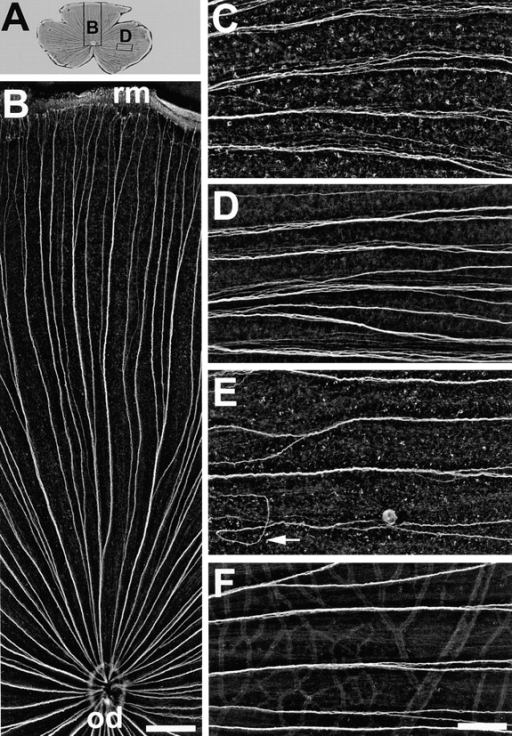 Ig domains 1 and 3 of neurolin contribute to axonal fasciculation in vivo. (A) Wholemount of a retina injected with  mAb N100 against Ig domain 3. The positions of B and D are indicated by rectangles. (B) Dorsal segment of the retina in A. The  directed growth of young RGC axons along fascicles from the  retinal margin (rm) to the optic disk (od) is maintained and is as  orderly as in control retinae. In retinae injected with mAb N850  against Ig domain 1 (C) or mAb N100 against Ig domain 3 (D)  young RGC axons in fascicles fail to adhere tightly to each other.  The distance between neighboring axons is increased compared  to controls (F). (E) mAb N518 against domain 2 does not interfere with tight fasciculation, but causes pathfinding errors of  young RGC axons (arrow). C–F are from the temporal retina,  oriented with the retinal margin to the right, and the optic disk to  the left. Bars, B, 300 μm; C–F, 100 μm.