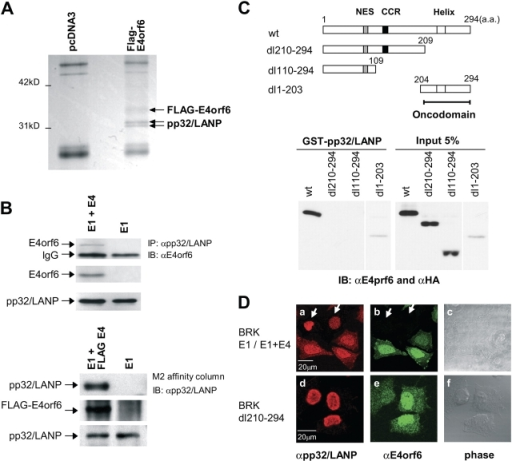E4orf6 interacts with pp32/LANP. (A) Identification of pp32/LANP as an associated protein of E4orf6 using 293 cells transfected with expression constructs for FLAG-E4orf6 by M2 (anti-FLAG antibody) affinity column chromatography. Arrows indicate the proteins identified as FLAG-E4orf6 and pp32/LANP by MALDI-TOF/MS analysis. (B) The interaction of E4orf6 with pp32/LANP was confirmed using transformed BRK cells. The expressions of E4orf6, FLAG-E4orf6, and pp32/LANP are shown. (C) Schematic diagram of deletion mutants of E4orf6. NES, nuclear export signal; CCR, conserved cysteine-rich region; Helix, amphipathic α helix region. Bar indicates the oncodomain (top). In vitro–translated E4orf6 mutants were incubated with GST-pp32/LANP, and the associated E4orf6 mutants were confirmed by immunoblotting using the antibody to E4orf6 and HA tag (for dl1-203; bottom). (D) Subcellular localization of pp32/LANP (a and d) and E4orf6 (b and e) in mixture of BRK E1 (arrows) and E1+E4 (top) or BRK dl210-294 (bottom) cells. (c and f) Phase images are shown.