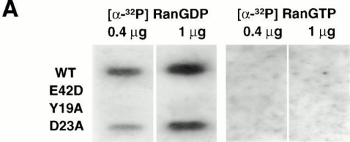 p10 mutants that cannot bind RanGDP do not support nuclear accumulation of FITC–RanGDP in digitonin-permeabilized cells. (A) Recombinant p10 proteins were dotted onto nitrocellulose, as described in the Materials and Methods, and the nitrocellulose was incubated with either Ran[α-32P]GDP or Ran[α-32P]GTP, washed, and exposed to film. (B) The ability of different p10 mutants to mediate the import of FITC–RanGDP (2 μM) in permeabilized BRL cells was assayed, as described in the legend to Fig. 2. Samples contained 0.5 mM GTP, 1 mM ATP plus a regenerating system, and 1 μM of the indicated p10 protein (dimer). Import was for 20 min at room temperature before washing and fixation.