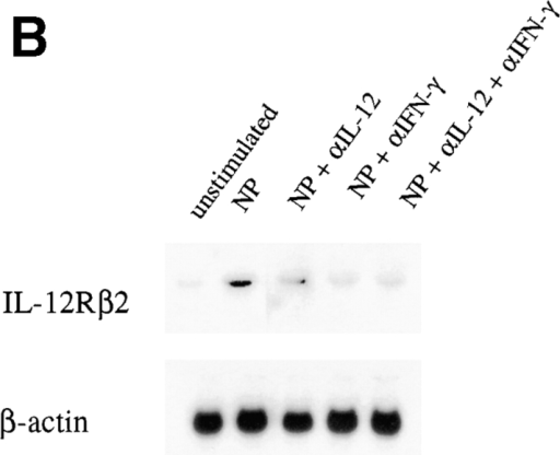 Maintenance of IL-12Rβ2  mRNA expression is dependent on the presence of IL-12 and IFN-γ. (A) LN cells from  B10.S mice coimmunized with MBP/NP  were removed on day 12 after immunization  and cultured for 3 d in the presence or absence of MBP with or without IL-12 (2 or  0.2 ng/ml). Total RNA was extracted, and  Northern blot analysis was performed for  IL-12Rβ2 subunit and β-actin. Results are  representative of three experiments each using LN cells pooled from five or more mice. (B) LN cells from B10.S mice coimmunized with MBP/NP were removed on day 12 after immunization and  cultured for 3 d in the presence of NP with or without anti–IL-12 (10 μg /ml) or anti–IFN-γ (10 μg/ml). Total RNA was extracted, and Northern blot  analysis was performed for IL-12Rβ2 subunit and β-actin. Results are representative of three experiments each using LN cells pooled from five or more  mice. (C) LN cells from SJL mice coimmunized with MBP/NP were removed on day 12 after immunization and cultured for 3 d in the presence of MBP  with or without anti–IL-12 (10 μg/ml) or anti–IFN-γ (10 μg/ml). Total RNA was extracted, and Northern blot analysis was performed for IL-12Rβ2  subunit and β-actin. Results are representative of three experiments each using LN cells pooled from five or more mice.