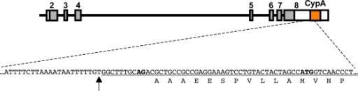 5′ junction of the inserted CypA pseudogene.The first 56 nucleotides of the insertion are underlined. The first nucleotide of the inserted sequence is indicated with an arrow, and occurs just after nucleotide position 671,500 of rhesus macaque chromosome 14 (accession # NW_001100384, based on M. mulatta reference assembly Mmu1 01212), in or near the 3′UTR of TRIM5. The 3′ss AG dinucleotide and the first methionine codon in the CypA pseudogene are in boldface. Splicing from the end of TRIM5 exon-6 occurs 35 bases upstream of the AUG, but maintains a continuous open reading frame.