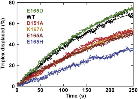 Bulk-solution measurement of DNA translocation and HsdR turnover by WT and mutant HsdR subunits using triplex displacement.19 Triplex displacement profiles were derived from stopped-flow experiments at a subsaturating HsdR concentration. Reactions were initiated by mixing preincubated triplex DNA (2093 bp between the EcoR124I and triplex binding sites), MTase and HsdR with an equal volume of reaction buffer plus ATP. The final solution contains 40 nM MTase, 1 nM HsdR, 5 nM DNA, 2.5 nM triplex and 4 mM ATP. Note that only 25% of the translocation events can lead to triplex displacement since there are 10 nM HsdR binding sites available (2 per DNA-bound MTase) but only 2.5 nM TFO bound.19 Experimental data are shown as scatter points, and continuous lines are fits to a single exponential.