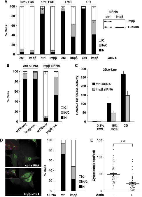 Importin β activity is required for MRTF-A nuclear accumulation. (A) Impβ was silenced in R332 cells (NIH 3T3 cells stably expressing MRTF-A–GFP) using RNA interference, and the localisation of the protein was analysed under different conditions. FCS, fetal calf serum; CD, Cytochalasin D (2 μM); LMB, leptomycin B. (⩽100 cells per point, n=3 independent experiments, error bars indicate s.e.m. values). Right: western blotting showing Impβ depletion (B) Similar as in panel A, serum stimulation. The Impβ knockdown was rescued by transient transfection of an siRNA-resistant form of Impβ–mCherry. mCherry empty plasmid was used as control. (C) Inhibition of SRF reporter 3D.A-Luc activation after Impβ depletion. Three independent experiments were performed; error bars represent s.e.m. values. (D) The localisation of transiently transfected MRTF-A–GFP in resting MDA-MB-231 cells. Phalloidin staining in red. Right: quantification. (E) Impβ–MRTF-A interaction detected by proximity ligation assay, using anti-impβ and anti-MRTF-A antibodies, is reduced in cells transfected with a β-actin expression plasmid, identified by coexpressed GFP marker. PLA was scored as cytoplasmic foci per cell (error bar indicates s.e.m. values; n=55; ***P<0.001, unpaired Mann–Whitney test).