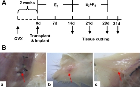 Morphological characteristics of xenotransplanted endometrial tissues.(A) Scheme and grouping of the experiment. The ovarectomized mice were allowed to recover for 2 weeks in order to get endogenous hormones free. E2 was administrated in the whole process while P4 was given during day 14 to day 28. The transplanted endometrium tissues were harvested at different time points indicated by downward arrowheads. (B) Photos of transplanted endometrial tissues. a: 28d group; b: 31d group; c: control group without hormone treatment. The red arrowheads indicated transplanted tissues. OVX, removal of both ovaries; E2, estradiol; P4, progesterone.