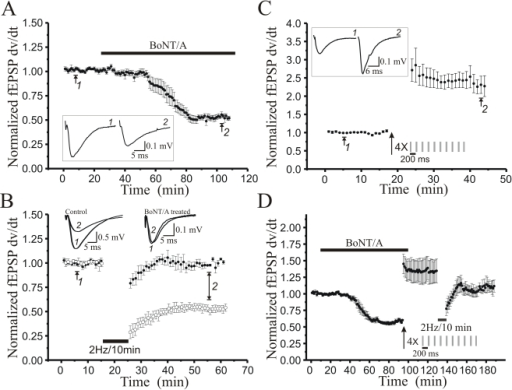 Botulinum Toxin type A pretreatment markedly reduces induction of LTD, but not LTP, at Schaffer collateral-CA1 synapses.A: Time course of reduction in field excitatory postsynaptic potential (fEPSP) slopes recorded in CA1 stratum radiatum and induced by bath application of BotoxA (200 ng/ml, 90 min; grey bar), plotting normalized fEPSP slopes (n = 9 slices). B: Time course of the effect of low frequency Schaffer collateral stimulation (2 Hz/10 min, solid bar) on fEPSP slopes in field CA1 of slices (n = 6) pretreated for 90 min with BotoxA (200 ng/ml), which eliminated LTD (P<0.01; Student's t-test compared to untreated slice LTD). C: Time course of LTP elicited in field CA1 by four trains of theta burst Schaffer collateral stimulation (arrow; each train 10 bursts of 4 stimuli at 100 Hz frequency, 200 ms interburst interval) in slices (n = 6) pretreated for 90 min with BotoxA (200 ng/ml). D: Time course of the magnitude of depotentiation, where BotoxA (200 ng/ml, grey bar) was bath applied for 90 min prior to induction of LTP by high-frequency theta burst stimulation (arrow; 4 trains of 10 4×100 Hz bursts, 200 ms interburst interval). After LTP was established for 30 min, low frequency Schaffer collateral stimulation (2 Hz/10 min, solid bar) elicited significant depotentation reversal of LTP (n = 6). Each point mean ± SEM of n slices. Representative fEPSP waveforms insets recorded at times indicated by numbers on traces and time course.