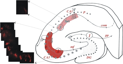 Selective filling of presynaptic CA3 pyramidal neurons using Electroporation.Schematic of a hippocampal slice illustrating in red the region where peptides were infused by electroporation into somata of multiple CA3 pyramidal neurons, and in pink the region where Schaffer collateral presynaptic terminals were imaged to confirm successful fill. Blunt patch electrodes were filled with 1 mM AlexaFluoro-594, and trains of 10 square current pulses (30 V/200 ms, 0.5 Hz) were applied at 50, 100, and 150 µm depth, after which the electrode was removed from the slice, shift laterally 20 µM, and the depth electroporations were repeated. One hour after electroporation, two-photon laser scanning microscopy (63x objective) was used to acquire the attached images of CA3 pyramidal neuron cell bodies (lower left) and Schaffer collateral terminals (upper left) to confirm successful presynaptic infusion.