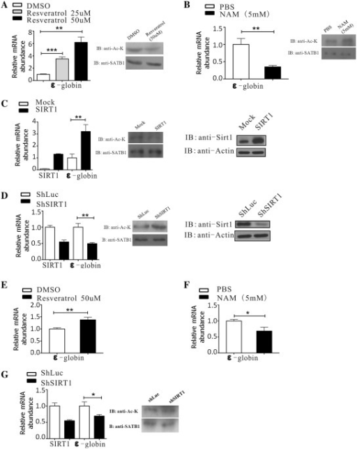 SIRT1 promotes ε-globin gene expression in K562 and primary erythroid cells. (A and B) K562 cells were treated with resveratrol or NAM, and ε-globin mRNA levels were detected by real-time PCR. The accompany changes of SATB1 acetylation level were detected by western blotting. Each error bar represents a standard deviation calculated from experiments performed in triplicate. Student's t-test was used for statistical analysis and P-values are indicated (**P < 0.01, ***P < 0.001). (C) K562 cells were transfected with pcDNA3.1 or pcDNA3.1-SIRT1. ε-globin and SIRT1 mRNA levels were detected by real-time PCR. Each error bar represents a standard deviation calculated from experiments performed in triplicate. Student's t-test was used for statistical analysis and P-value is indicated (**P < 0.01). The SIRT1 protein levels and accompanying SATB1 acetylation levels were detected by western blot. (D) K562 cells were stably infected with a retrovirus carrying control shRNA or SIRT1 shRNA. ε-globin and SIRT1 mRNA levels in the stably infected cells were determined by real-time PCR. Each error bar represents a standard deviation calculated from experiments performed in triplicate. Student's t-test was used for statistical analysis and P-value is indicated (**P < 0.01). The SIRT1 protein levels and accompanying SATB1 acetylation levels were determined by western blotting. (E and F) HSCs were selected from cord blood, cultured in medium for 1 week, and treated with Epo for 3 days to induce erythroid differentiation. The primary erythroid cells were then treated with resveratrol or NAM, and ε-globin mRNA levels were determined by real-time PCR. Each error bar represents a standard deviation calculated from experiments performed in triplicate. Student's t-test was used for statistical analysis and P-value is indicated (*P < 0.05, **P < 0.01). (G) The selected HSCs were infected with a retrovirus carrying control shRNA or SIRT1 shRNA. Polyclones were selected by puromycin before being subjected to Epo induction for 3 days. ε-globin and SIRT1 mRNA levels were detected by real-time PCR. The accompany change of SATB1 acetylation level was detected by western blotting. Each error bar represents a standard deviation calculated from experiments performed in triplicate. Student's t-test was used for statistical analysis and P-value is indicated (*P < 0.05).