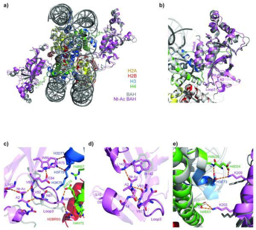 Sir3 N-terminal acetylation stabilizes the interaction of Sir3 BAH with the NCP(a) Superposition of the structures of the N-terminally acetylated (pink) and unacetylated (grey)10 BAH in complex with the NCP. (b) Detailed view of Ala2 (A2), N-ter-acetyl group (Nt-Ac), Loop3 and Helix8. (c) Detailed view of the interactions between the acetylated N-terminus of Sir3 and Loop3. (e) Close-up view of Sir3 Helix8–histone core interactions. (d) Detailed view of the acetylated Sir3 N-terminus.