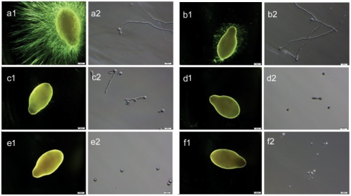 In vitro effect of boric acid on the germination and colonization of Saprolegnia spores.Effect of boric acid on the germination and colonization of Saprolegnia spores following 48 hours incubation. (a1 and a2) Grade 3: Profuse Saprolegnia hyphal growth on sesame seeds in the non- treated control group (water). (b1 and b2) Grade 3: germinating spores with mycelial growth on the sesame seeds (boric acid <0.2 g/L). (c1 and c2) Grade 2: reduced germination rate and minimal mycelial growth on the sesame seeds (boric acid 0.2–0.4 g/L). (d1 and d2) Grade 1: germinating spores without growing mycelia on the sesame seeds (boric acid 0.5–0.7 g/L). (e1 and e2) Grade 0: no germinating spores, no growing mycelia on the sesame seeds (boric acid ≥0.8 g/L). (f1 and f2) Grade 0: positive control group (bronopol), no spore germination with absence of the growing mycelia on sesame seeds.