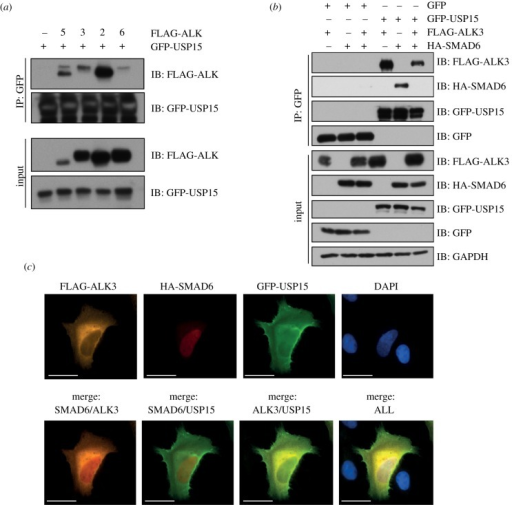 USP15 interacts and co-localizes with SMAD6 and ALK3. (a) HEK293 cells were transfected with GFP-USP15 with control vector or mammalian expression vectors encoding N-terminal FLAG-tagged ALK5, ALK3, ALK2 or ALK6. Cells were lysed and extracts (1 mg) subjected to GFP-IPs. GFP-IPs (40%) or extract inputs were resolved by SDS-PAGE and subjected to immunoblotting with the indicated antibodies. (b) HEK293 cells expressing GFP control or GFP-USP15 were transfected with FLAG-ALK3, HA-SMAD6 or both as indicated. Cells were lysed and extracts (1 mg) subjected to GFP-IPs. GFP-IPs (40%) or extract inputs were resolved by SDS-PAGE and subjected to immunoblotting with the indicated antibodies. (c) Fixed cell immunofluorescence was performed on U2OS cells transfected with FLAG-ALK3, HA-SMAD6 and GFP-USP15. Individual and merged pictures are shown, indicating localization of FLAG-ALK3 mainly in the cytosol, HA-SMAD6 in the nucleus and GFP-USP15 in both compartments. GFP-USP15 mainly co-localizes with FLAG-ALK3. Pictures were taken using a 60× lens, scale bar represents 30 μm.