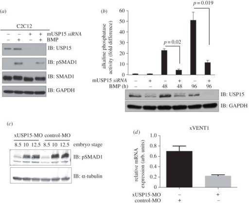 USP15 impacts osteoblastic differentiation in C2C12 myoblasts and modulates BMP signalling in Xenopus embryogenesis. (a) Mouse myoblast cell line C2C12 were transfected with siRNAs targeting mouse FoxO4 or USP15. Cells were serum-starved overnight and treated with or without BMP for 1 h prior to lysis. Extracts were resolved by SDS-PAGE and immunoblotted with antibodies against USP15, pSMAD1, total SMAD1 and GAPDH. (b) C2C12 cells transfected with mouse siFoxO4 or mouse siUSP15 were grown for up to 4 days in the presence of BMP. Cells were lysed and the alkaline phosphatase activity measured using a fluorescence plate reader. Data are represented as mean of three biological replicates and error bars indicate s.d. Representative extracts were resolved by SDS-PAGE and subjected to immunoblotting with antibodies against USP15 and GAPDH. (c) Xenopus embryos were injected with 80 ng of either xUSP15- (xUSP15-MO) or control-MO morpholinos at the one-cell stage and then collected at the indicated stages. Lysates were resolved by SDS-PAGE and immunoblotted with antibodies against pSMAD1 and α-tubulin. (d) qRT-PCR analysis of xVENT1 mRNA expression. Embryos were injected with 80 ng of either USP15-MO or control-MO at the one-cell stage and then animal caps were cut at stage 8.5. The animal caps were collected at the equivalent embryo stage of 10.5 and processed for qRT-PCR.