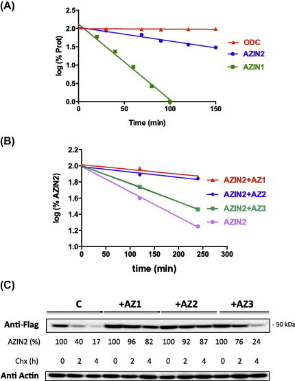 Half-lives of AZIN2 and its paralogues ODC and AZIN1 in HEK 293T cells. (A) Cells were transfected with AZIN2, AZIN1 or ODC tagged with FLAG. Twenty-four hours after transfection, cycloheximide (100 μM) was added, the cells harvested at the indicated times and ODC levels were detected by measuring the enzymatic activity, whereas AZIN1 and AZIN2 protein levels were determined by Western blot analysis using an anti-FLAG antibody. (B) Influence of the AZs in the half-life of AZIN2. Cells were transfected with AZIN2-FLAG alone or co-transfected with AZIN2-FLAG and each of the three AZ isoforms. Transfected cells were treated as indicated above and protein levels were determined by Western blot analysis and incubation with anti-FLAG antibody as shown in (C). The indicated values of % degradation represent a mean value of three repetitions.