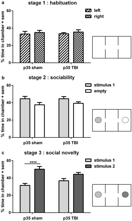 Loss of social novelty preference at adulthood is unique to TBI at p35.Independent of injury, all mice spent equal time in the left and right side chambers during habituation (stage 1; a). During stage 2 (b), both sham and TBI mice showed a similar preference for spending more time in the chamber containing the stimulus mouse, compared to the empty chamber (2-way ANOVA overall effect of stimulus, *p<0.05). In stage 3 (c), sham mice showed a strong preference for spending more time with stimulus mouse 2 compared to mouse 1, indicating social recognition or memory of 'now-familiar' stimulus 1 (2-way ANOVA post-hoc, ****p<0.0001). In contrast, TBI mice injured at p35 spent equivalent time with both stimulus mice (post-hoc, n.s.), indicating a lack of preference for social novelty.