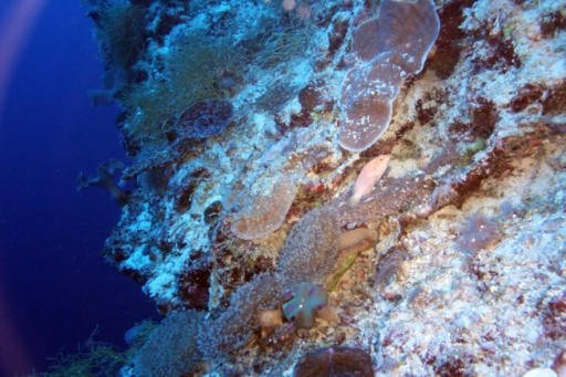 Semi-suspended coarse sediments affecting mesophotic corals.Coarse sands were frequently observed cascading down sloping mesophotic habitats, settling on and partially burying corals. Osprey Reef, Coral Sea at 40 m depth.
