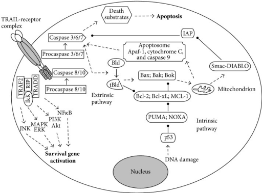TRAIL-receptor mediated signalling pathways. By binding its receptor TRAIL initiates cell death (apoptosis) via either intrinsic (mitochondria) or extrinsic pathway and/or induces the activation of survival genes resulting in cell proliferation/migration and inhibition of apoptosis.